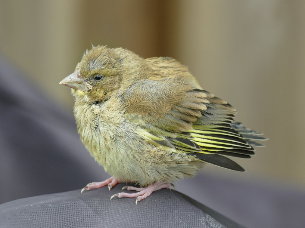 grönfink1