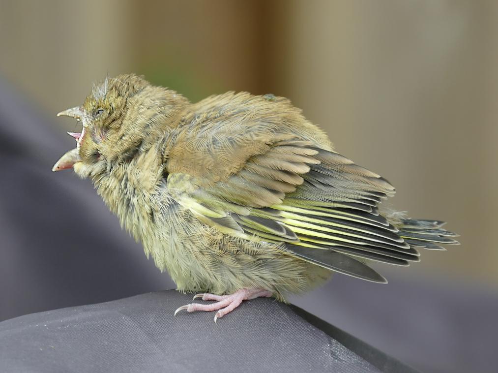 grönfink2