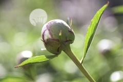 IMG_0907_blomma